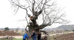 Gaziantep'te 7 asırlık fıstık ağacı, yılda 200 kilo ürün veriyor