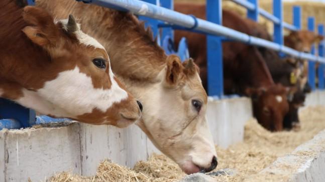 Hayvan besicileri: Kurbanlık fiyatları bu yıl değişmeyecek